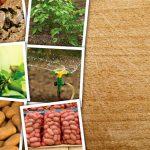 Pays de la Loire : Les pommes de terre de Noirmoutier, pionnières du «re-use»