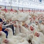 La condition animale, enjeu (politique) de société