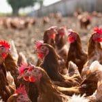 La moitié des poules vit désormais en liberté!